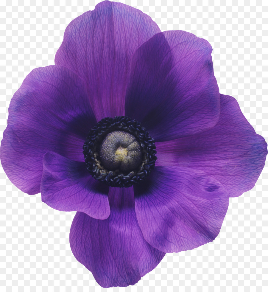 Anemone coronaria flower bouquet purple violet purple flowers png anemone coronaria flower bouquet purple violet purple flowers izmirmasajfo
