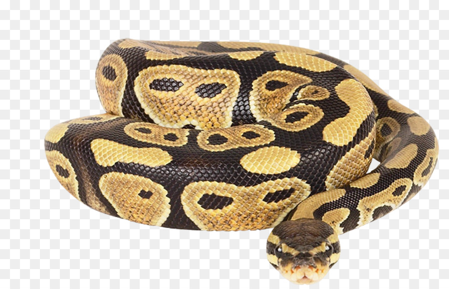 Dwarf Burmese python Ball python Reticulated python African rock ...