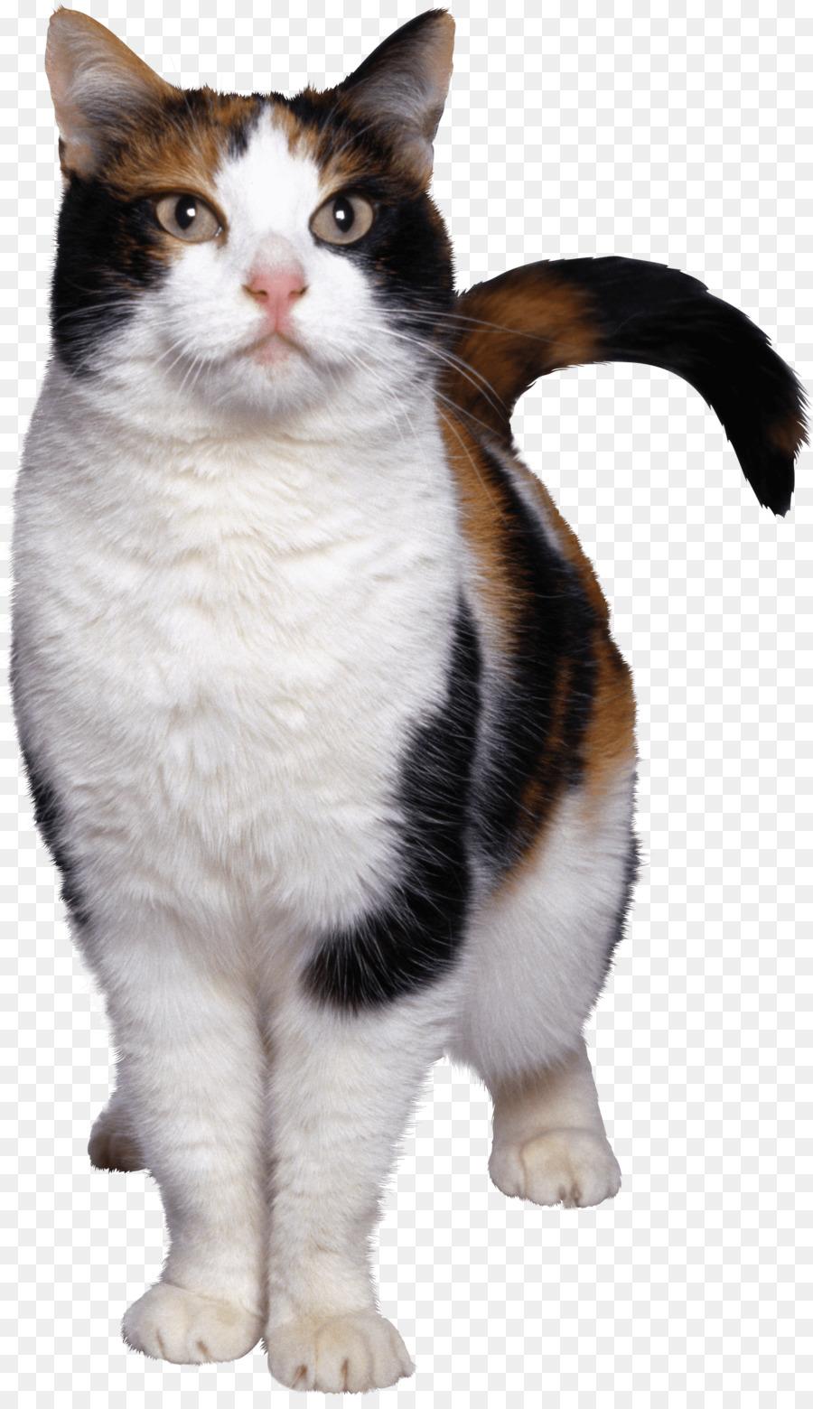 Egyptian Mau American Wirehair Aegean cat European shorthair Kitten ...