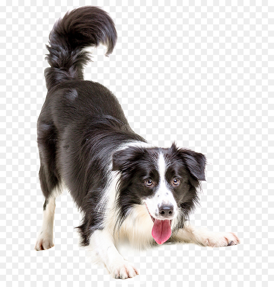 Border Collie Dogs As Pets