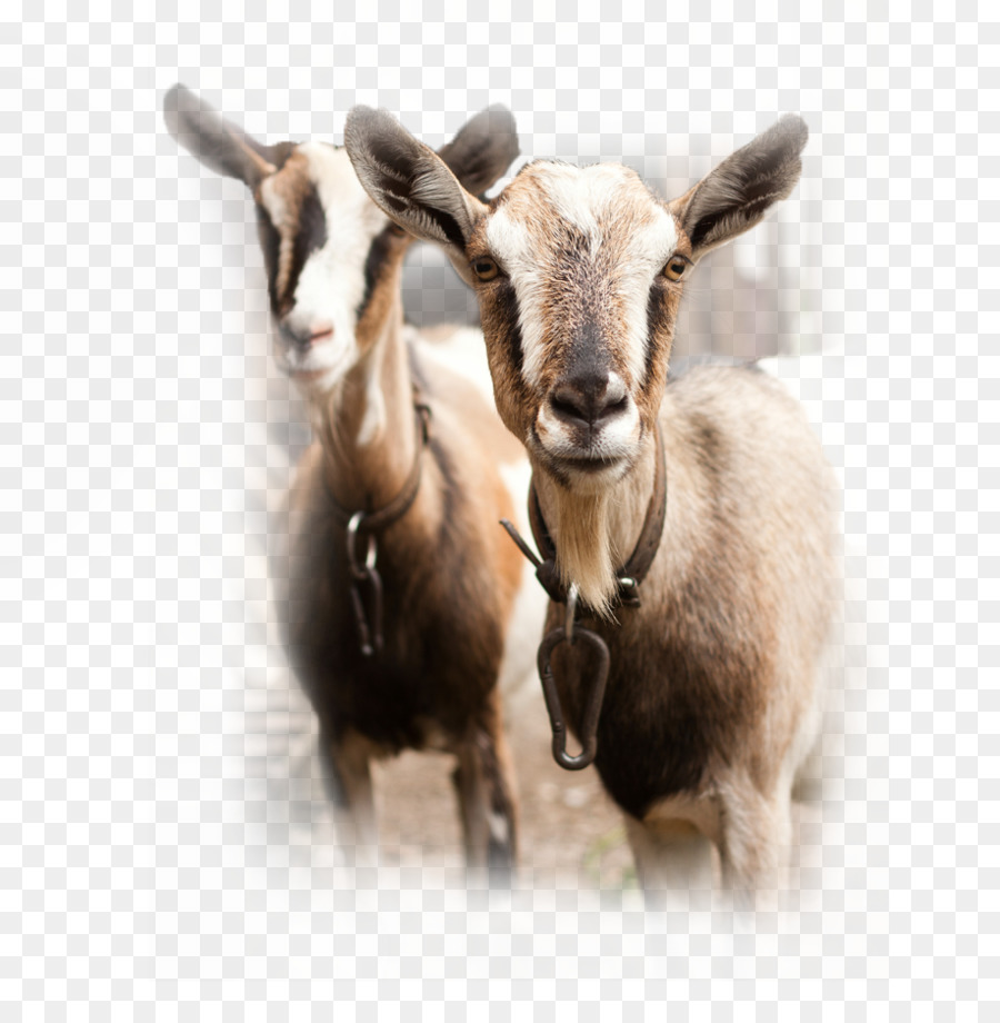 Spanish goat Sheep Cattle Goat milk - goat png download - 918*925 ...
