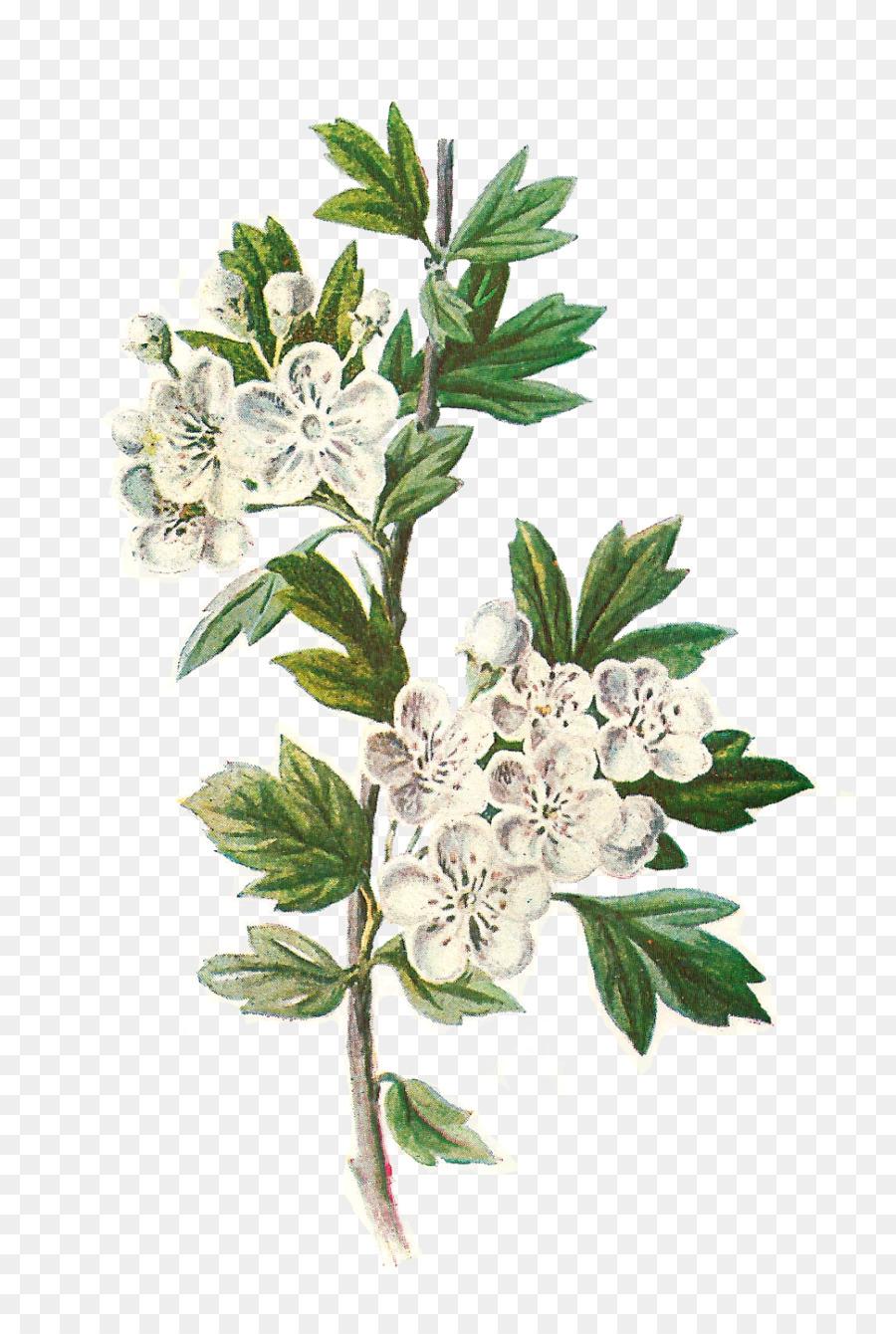 Botany Botanical illustration Wildflower Clip art ...