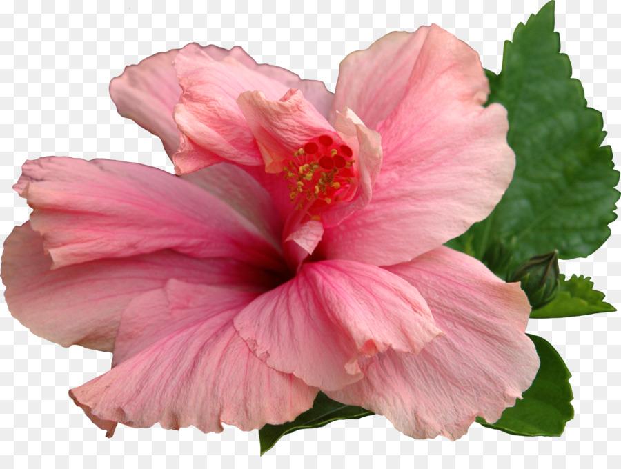 Common Hibiscus, Flower, Shoeblackplant, Pink, Hibiscus PNG