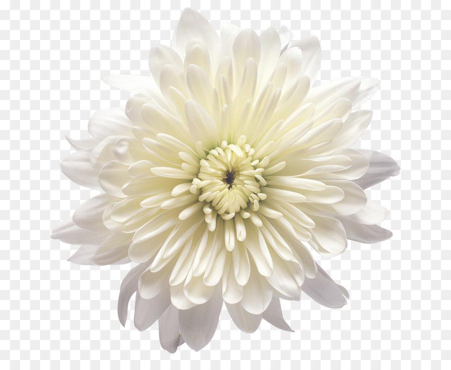 Chrysanthemum flower yellow white clip art white flower png chrysanthemum flower yellow white clip art white flower mightylinksfo