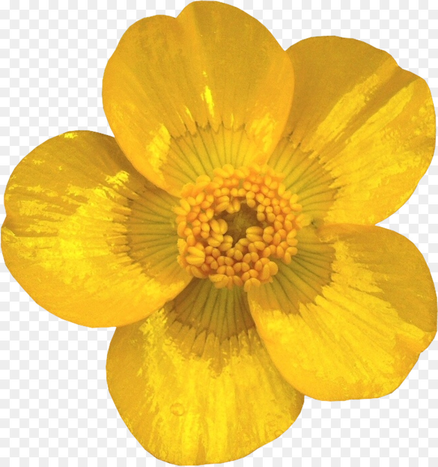 Cut Flowers Petal Buttercup Transvaal Daisy Yellow Png Download