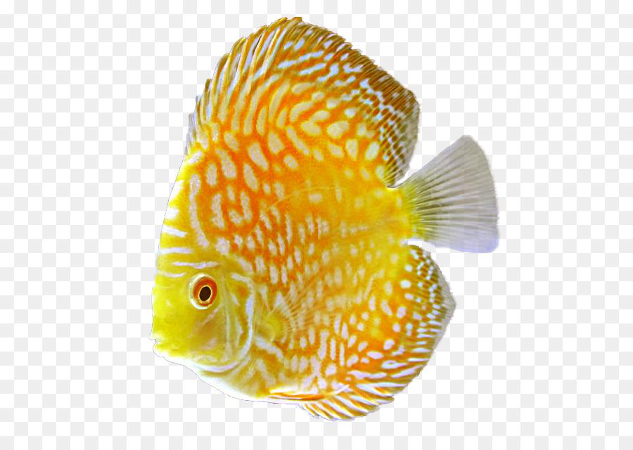 Discus Goldfish Tropical Fish Aquarium Png Download 583 628