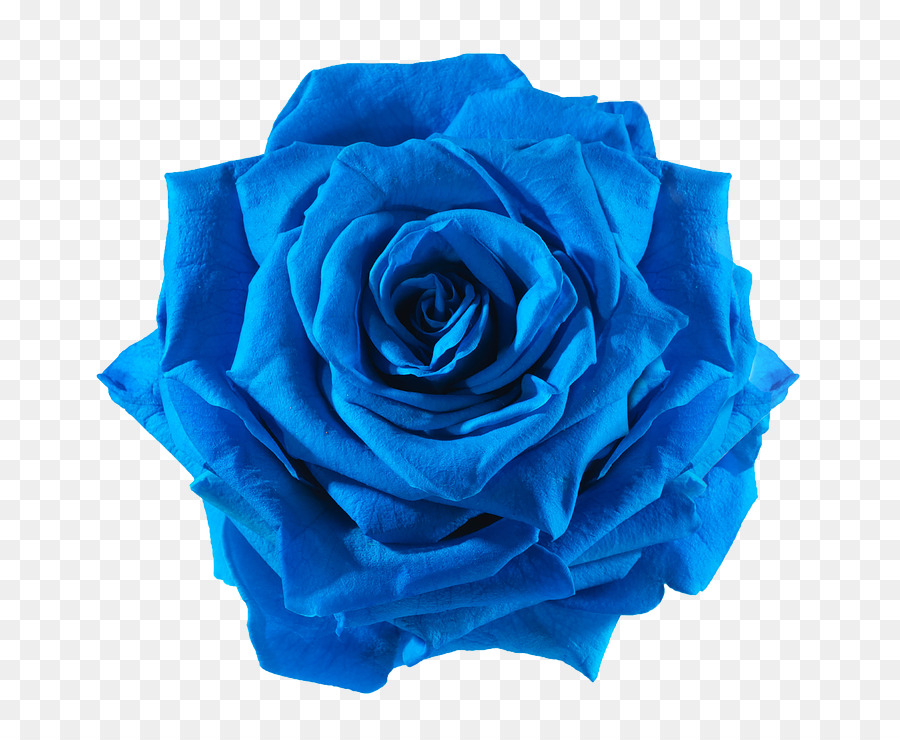 blue rose cut flowers blue flower png download 738 738 free