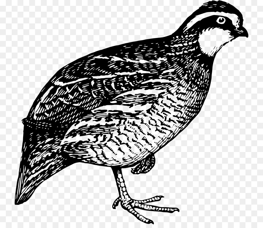 quail hunting bird clip art quail png download 800 768 free