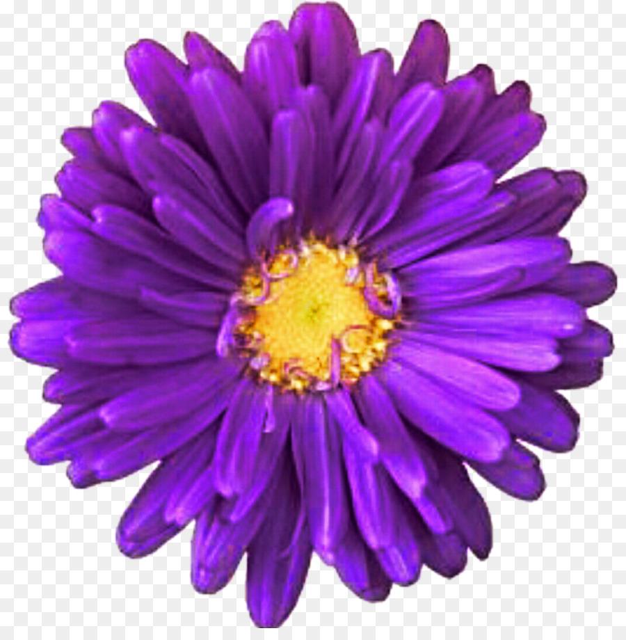 Purple Innovation Transvaal Daisy Common Daisy Clip Art