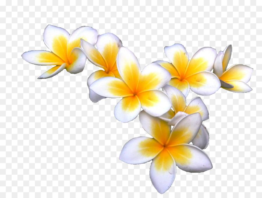 frangipani display resolution download clip art tropical flower