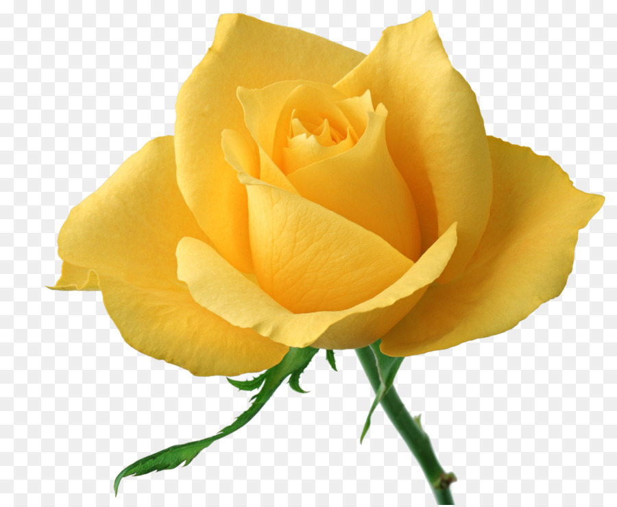 Flower Rose Yellow Stock Photography Clip Art Yellow Rose Png