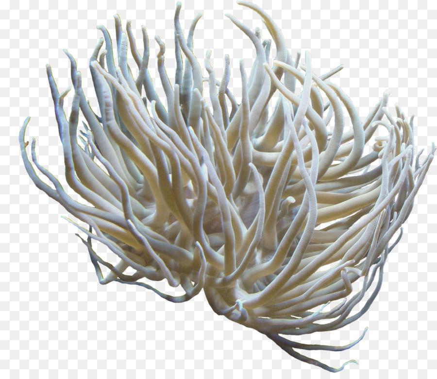 Clip art - anemone png download - 1280*1092 - Free Transparent ...