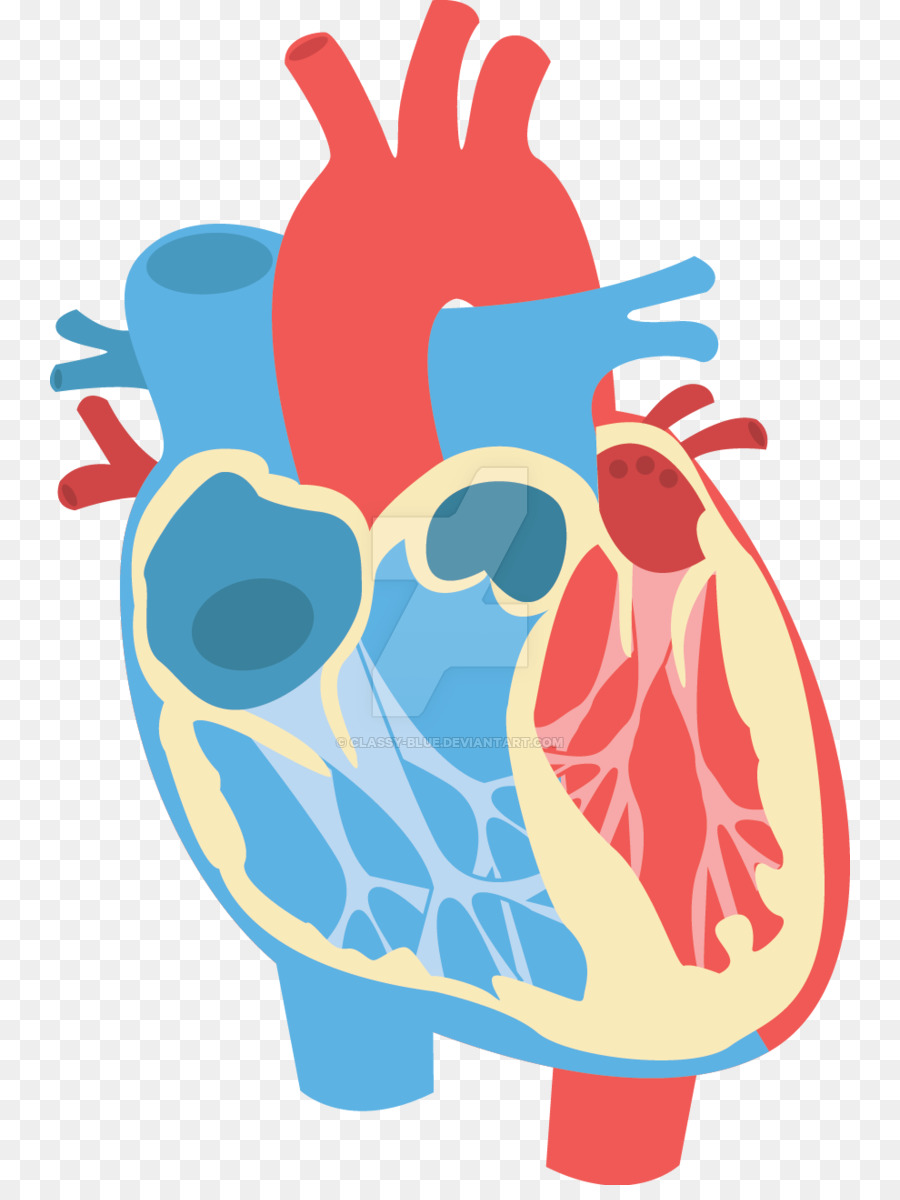 Heart Diagram Anatomy Clip art - diagram png download - 800*1185 ...