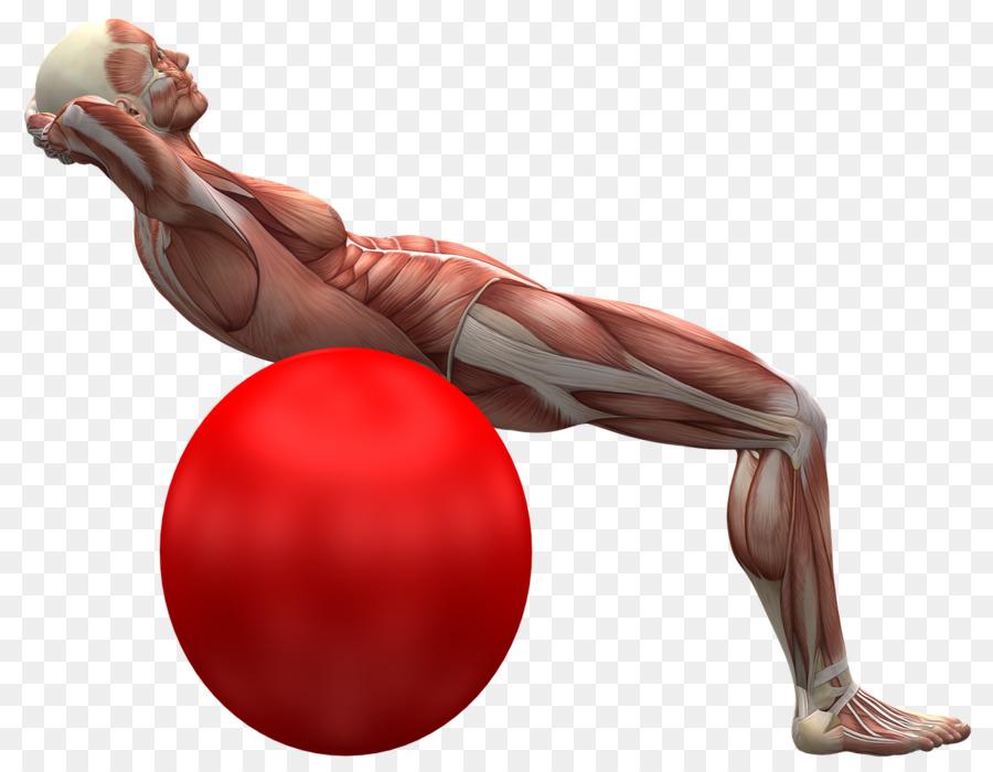 Dolor de espalda, espalda Humana Músculo Pelotas de Ejercicio ...