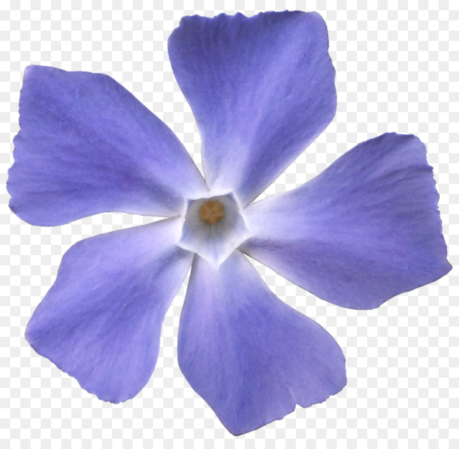 Viola Sororia Flower Violet Blue Purple Violet Png Download 914