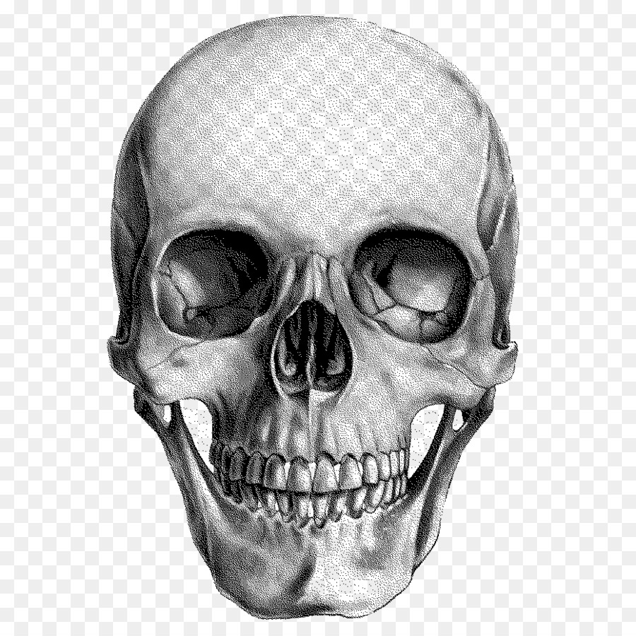 Human Skull Drawing Anatomy Skull Png Download 932932 Free