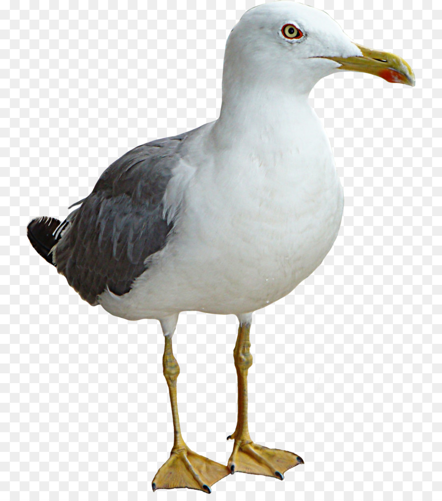 Gulls bird clip art seagull png download 7931006 free gulls bird clip art seagull altavistaventures Image collections