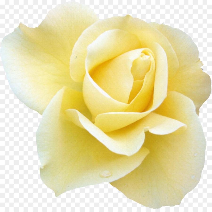 Blue Rose Flower Desktop Wallpaper White Yellow Rose Png Download