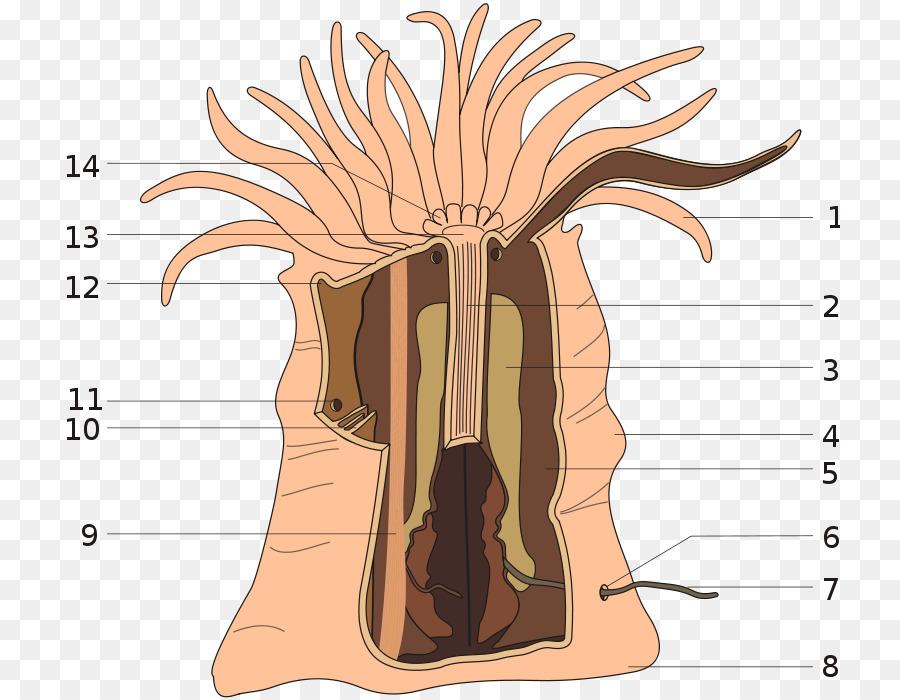 Art Forms in Nature Anthozoa Sea anemone Mesentery Clownfish ...