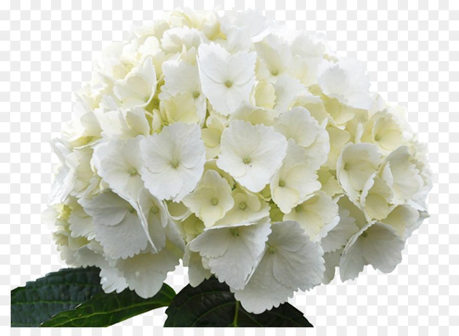 French hydrangea hydrangea arborescens white flower green white french hydrangea hydrangea arborescens white flower green white flowers mightylinksfo