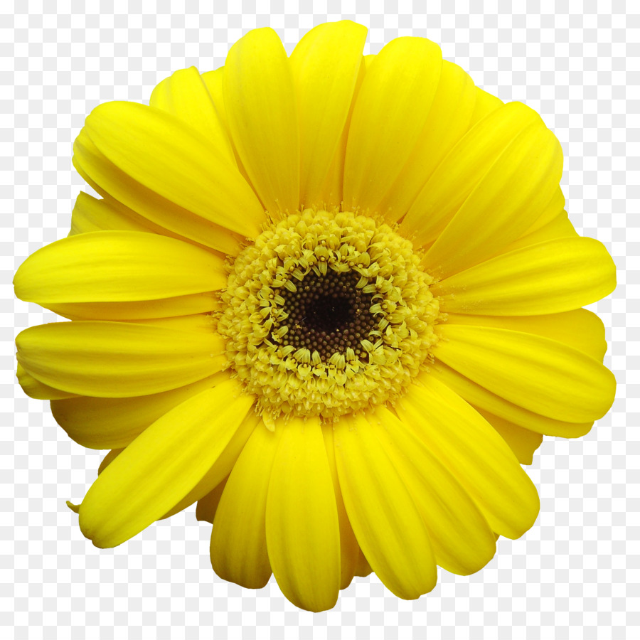 Yellow Common Daisy Transvaal Daisy Flower Clip Art Gerbera Png