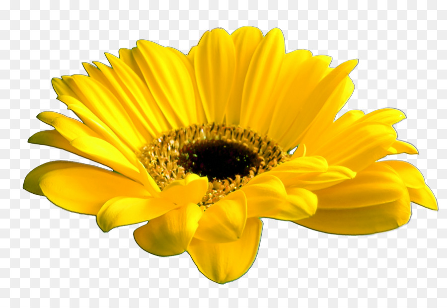 Cut Flowers Common Daisy Yellow Yellow Flowers Png Download 900