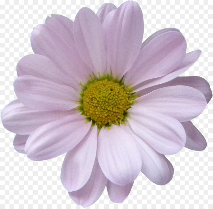 Lilac Violet Argyranthemum Frutescens Daisy Family Purple White