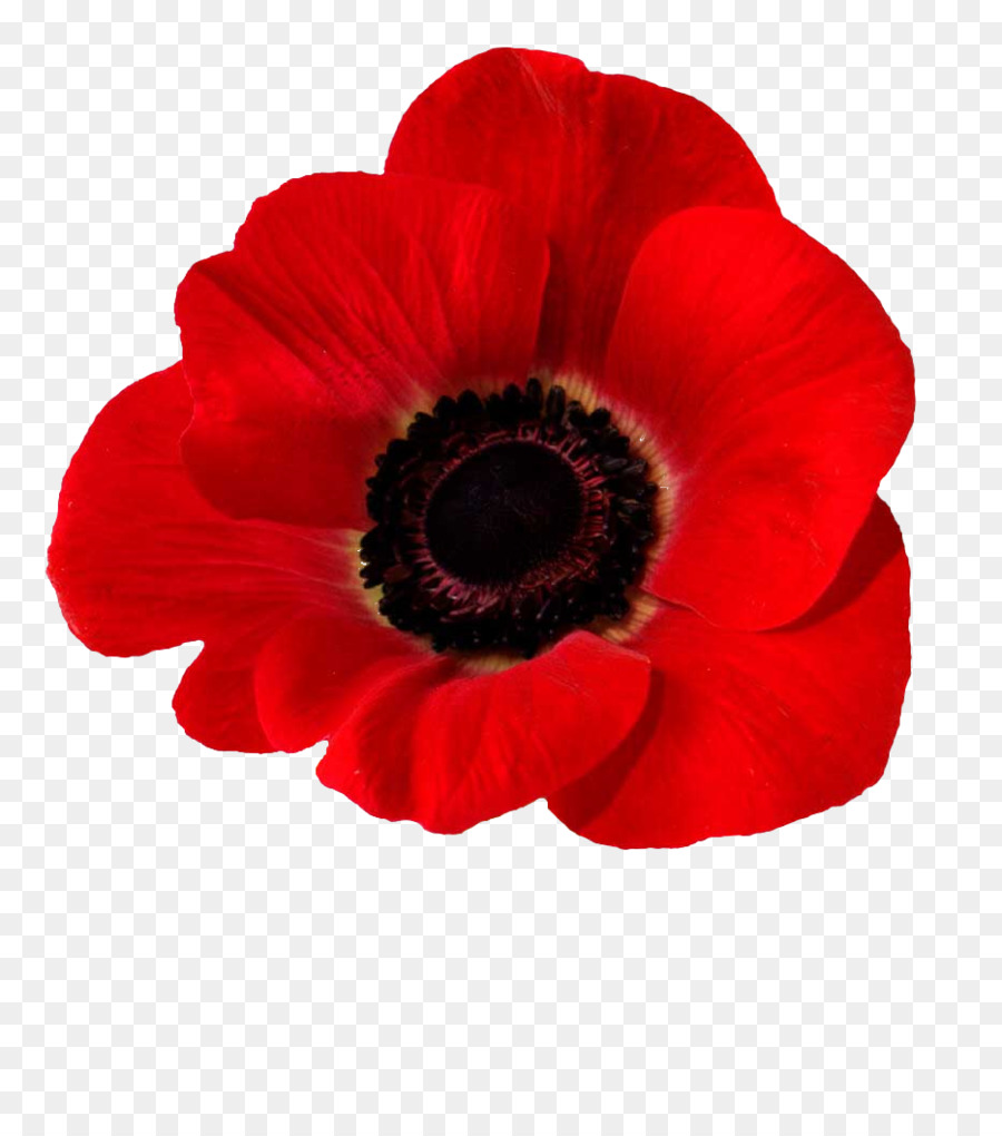 Blood Swept Lands And Seas Of Red Common Poppy Opium Poppy In