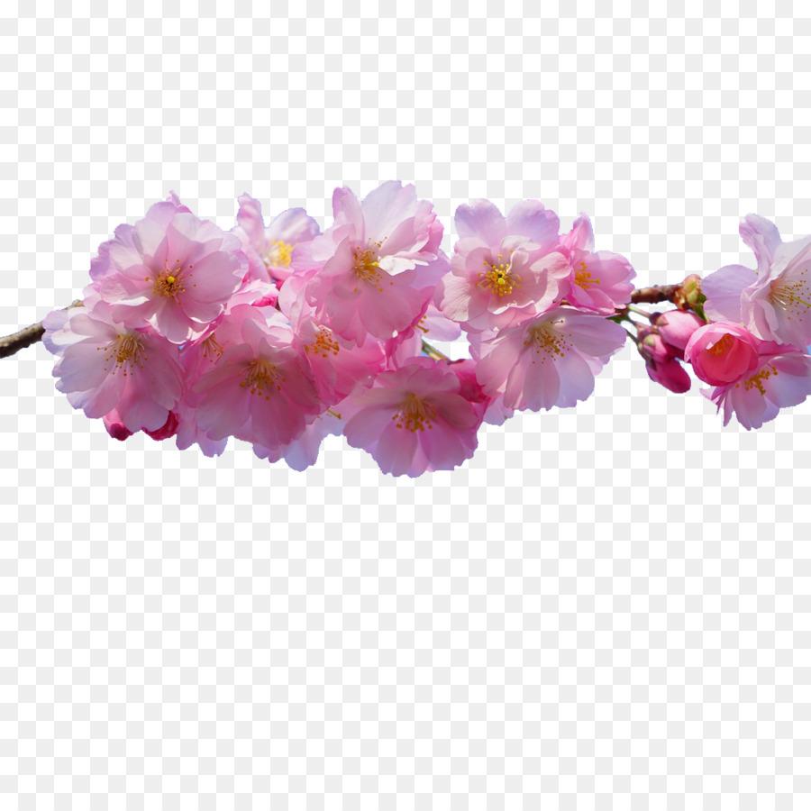 Rosa Fiori Di Sfondo Per Il Desktop Fiore Di Ciliegio Scaricare