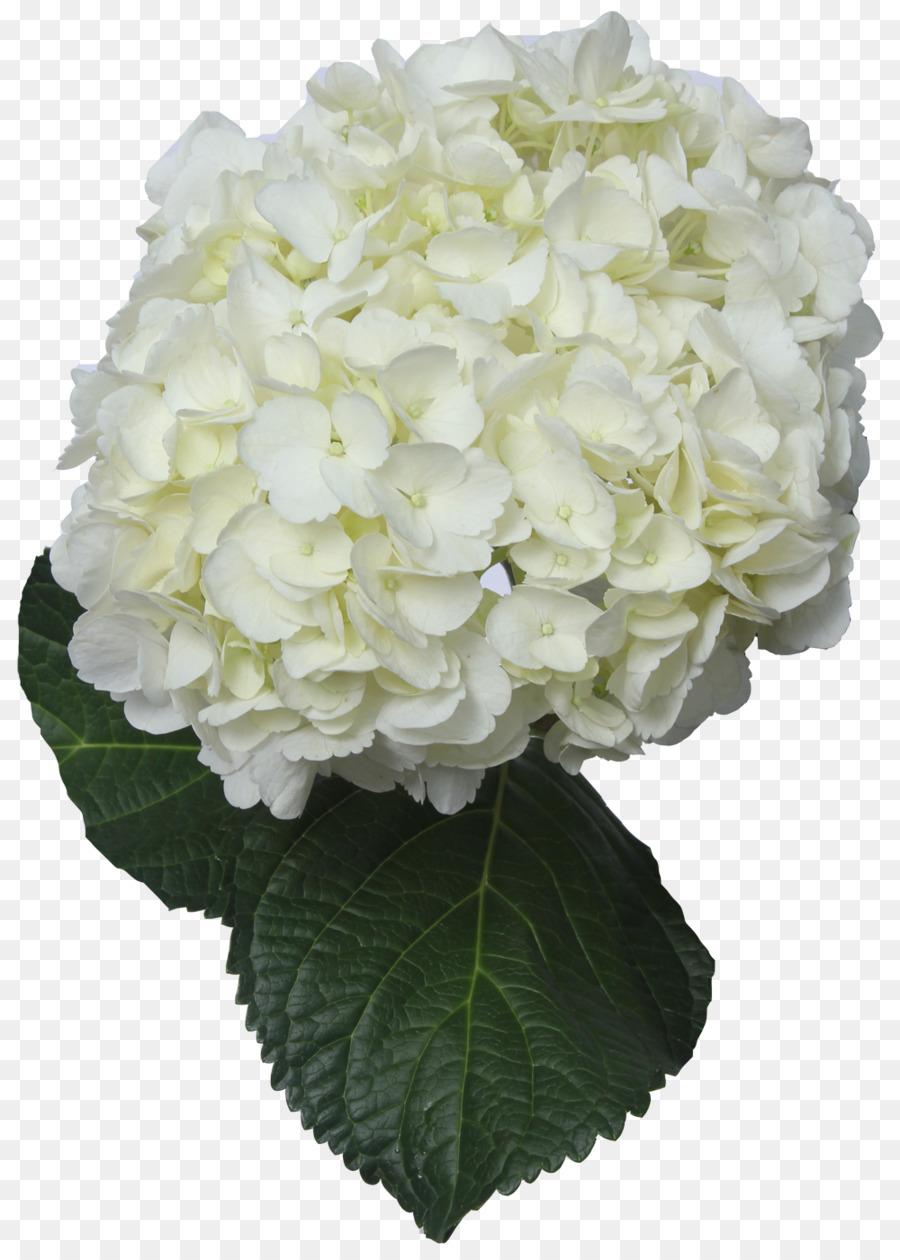 Hydrangea Cut Flowers White Green Hydrangea Png Download 1000