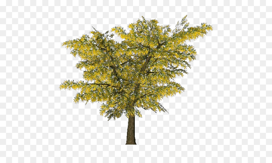 Tree Acacia Dealbata Ornamental Plant Branch Mimosa Png Download