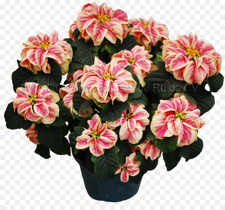 Artificial Flower Poinsettia Plant Merlin Greenhouses S De Rl Cv Winter 2648 2451 Transp Png Free Pink
