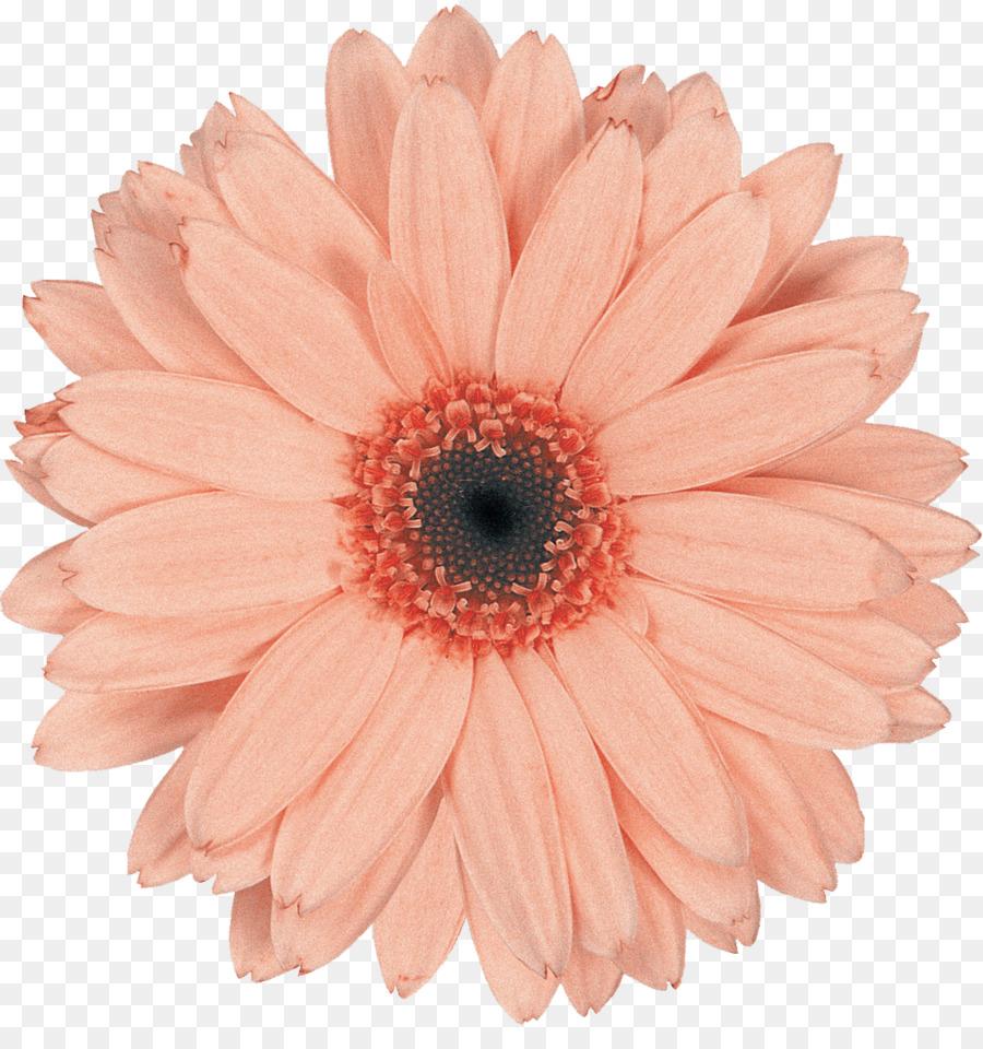 Transvaal daisy cut flowers daisy family common daisy gerbera png transvaal daisy cut flowers daisy family common daisy gerbera izmirmasajfo