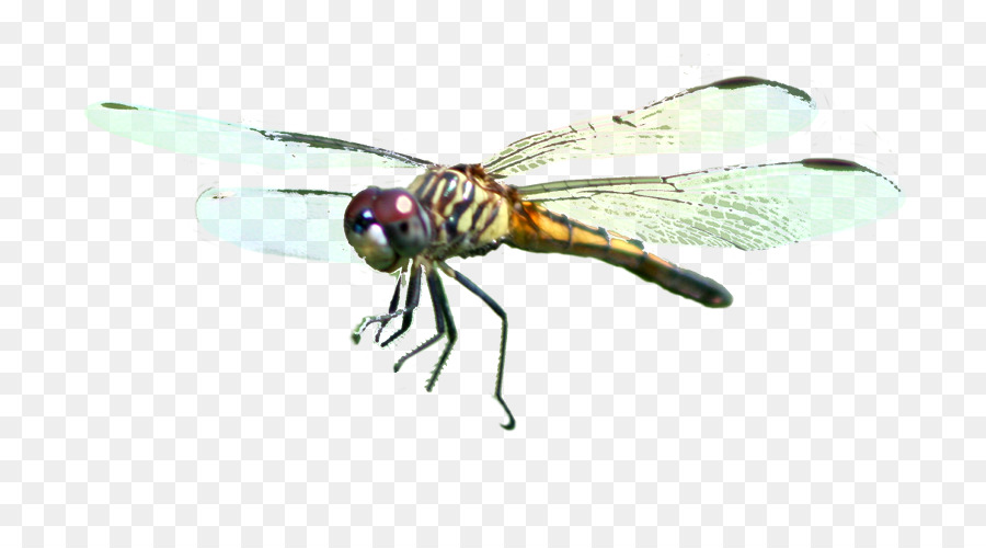 Dragonfly Fly png download - 800*500 - Free Transparent