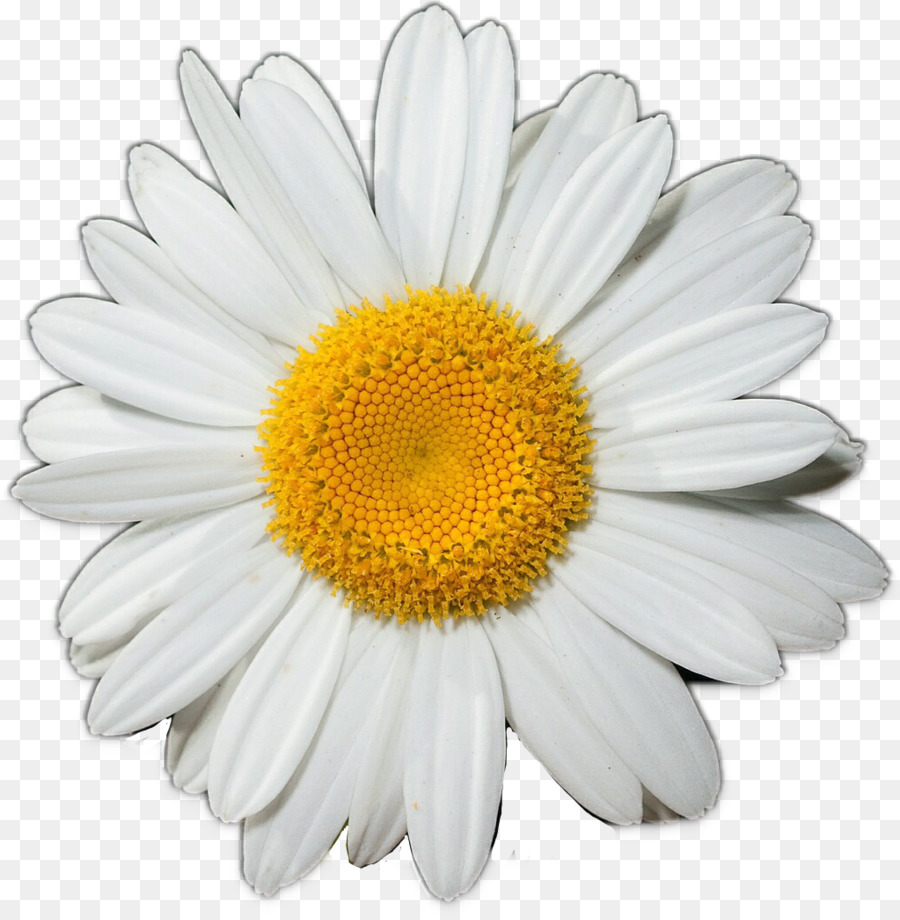 Common Daisy Flower Clip Art Daisy Png Download 10231043 Free
