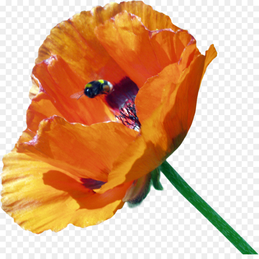Flower Clip Art Poppy Png Download 12001178 Free Transparent