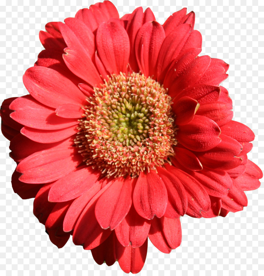 Flower Transvaal Daisy Orange Petal Daisy Family Gerbera Png