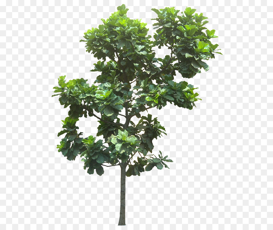Fiddle Leaf Fig Common Weeping Tree Banana Leaves Png 590 753 Free Transpa Fiddleleaf
