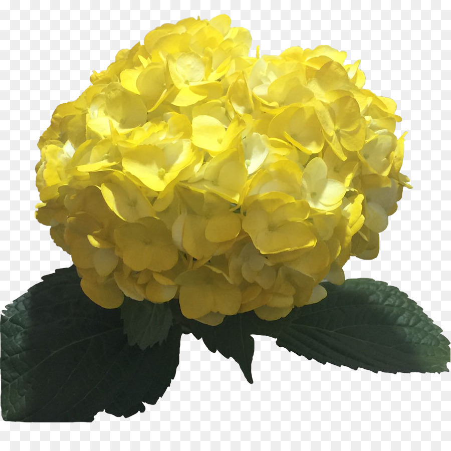 Hydrangea Yellow Flower Color Light Hydrangea Png Download 900