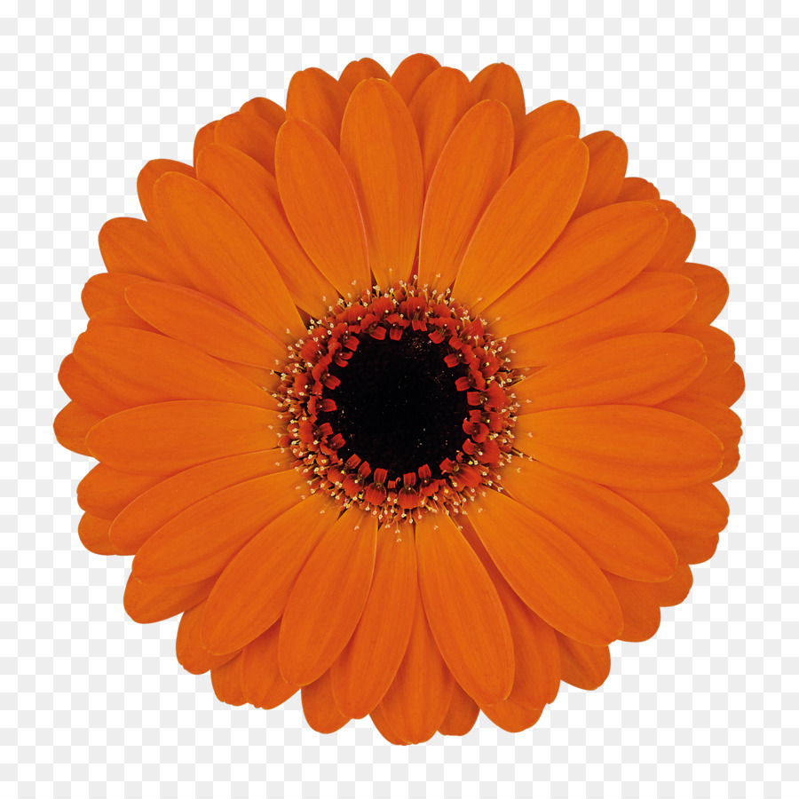 Tissue Paper Party Red Fan - gerbera png download - 1772*1772 - Free ...