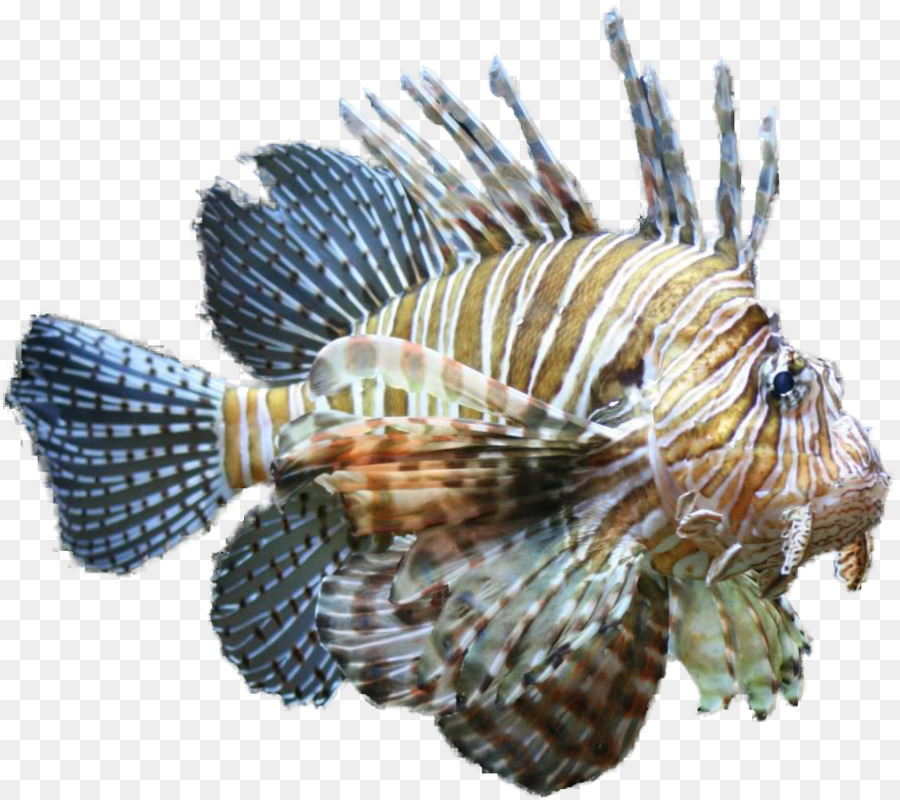 Freshwater Lionfish | Horse Lionfish Tropical Fish Clip Art Aquarium Fish Png Download