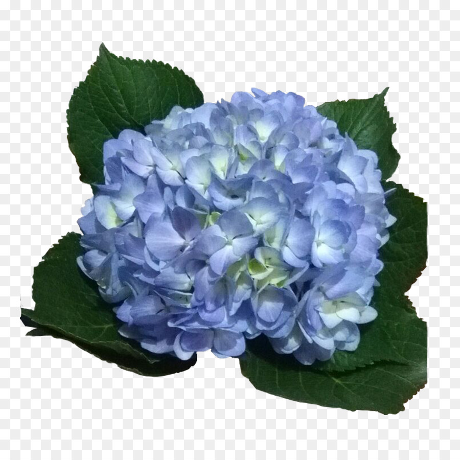 Hydrangea Light Blue Violet Flower Hydrangea Png Download 900