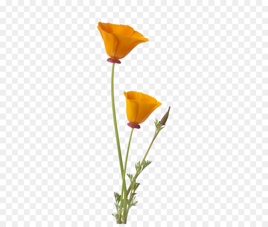 California poppy flower bud poppy png download 500750 free california poppy flower bud poppy mightylinksfo