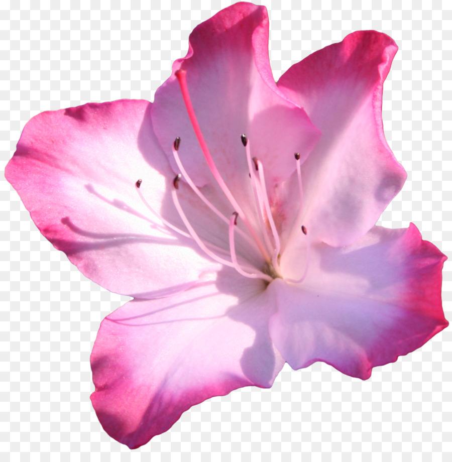 Azalea pink flowers clip art pink flower png download 12801283 azalea pink flowers clip art pink flower mightylinksfo