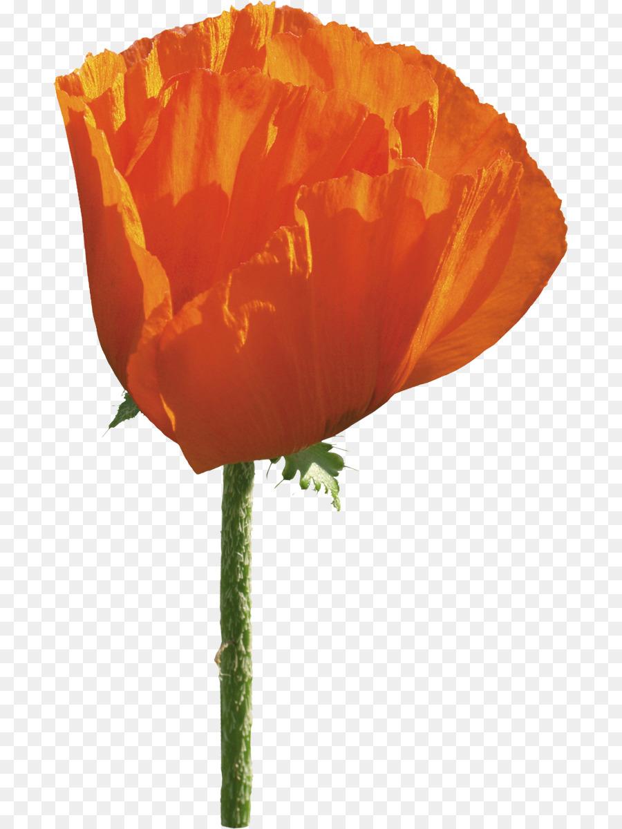 Common Poppy Flower Opium Poppy Poppy Png Download 7451200