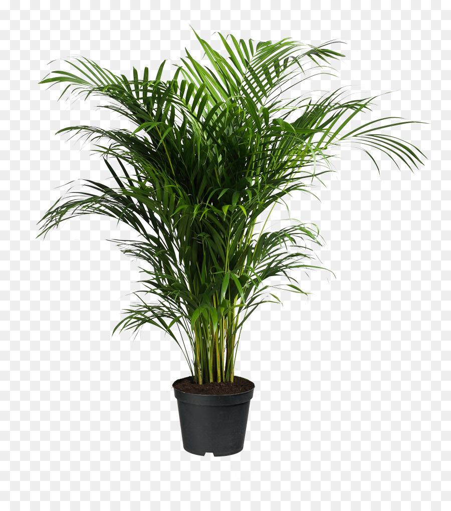 Howea Forsteriana Ravenea Areca Palm Houseplant Potted Plants Png