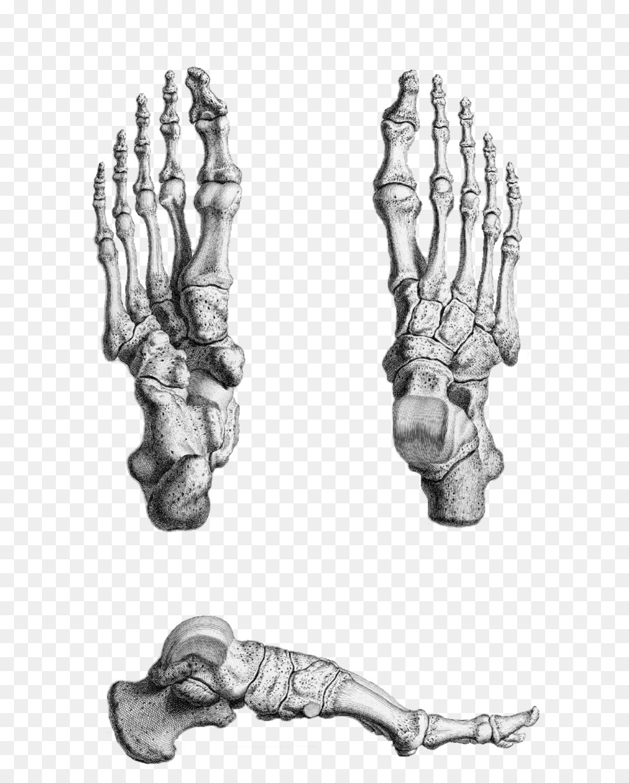 Gray\'s Anatomy Foot Bone Human skeleton - feet png download - 714 ...