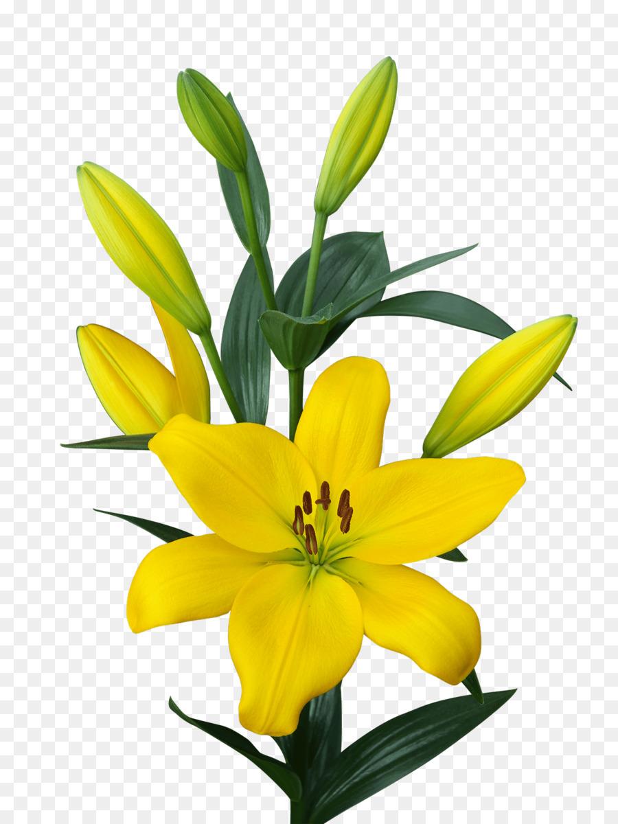 Golden Nugget Las Vegas Lilium Yellow Bulb Embryophyta Lilies Png