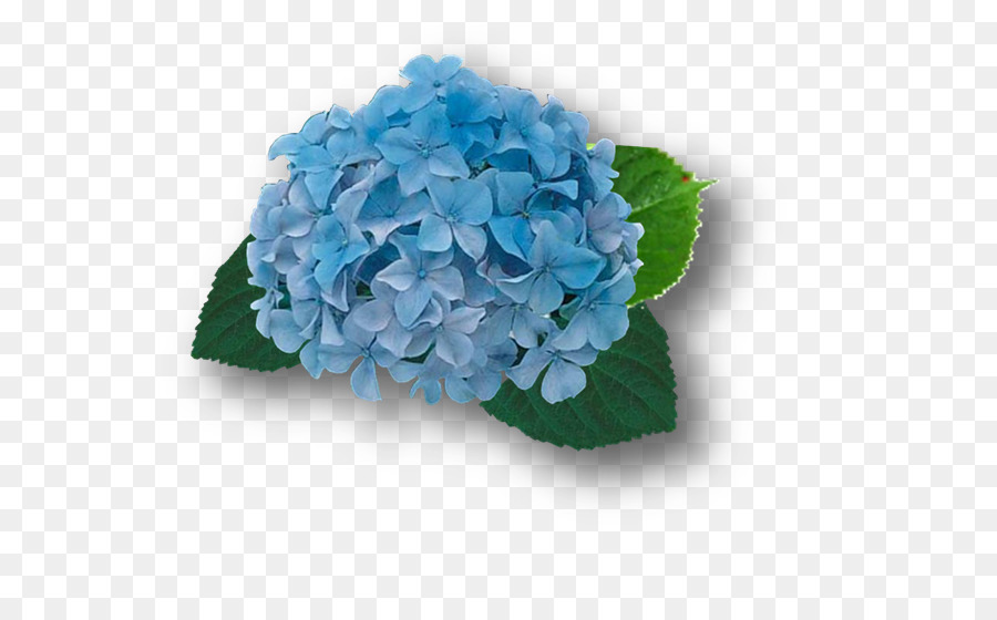 French Hydrangea Blue Cut Flowers Plant Hortensia Png Download - Color-hortensia
