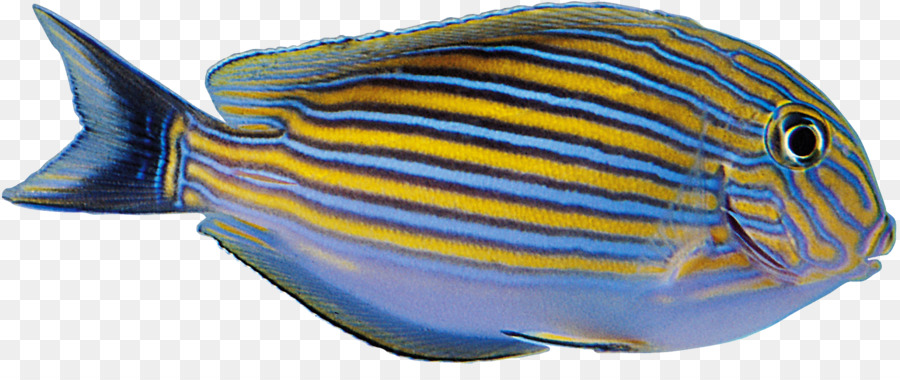 Tropical Fish Yellow Blue Aquarium Fish Png Download 1668 677